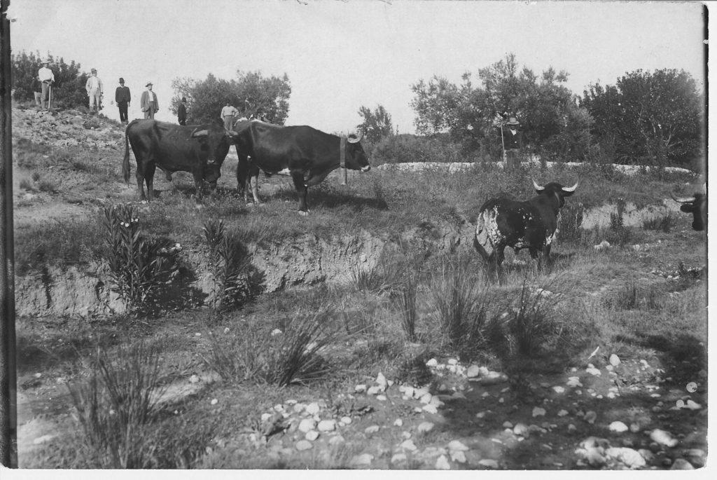 Toros pastando en La Canaleja.
