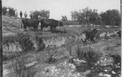 El ganado cerril, el que propicia el rito que se atesora entre cerros.